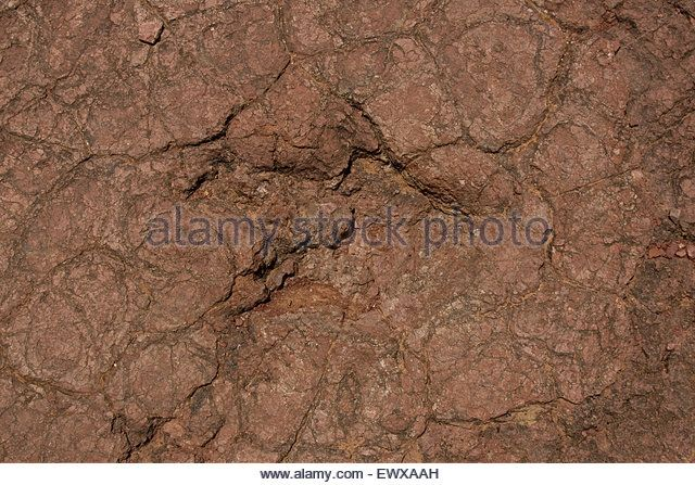 Dinosaur footprint in a lithified mud - Stock Image