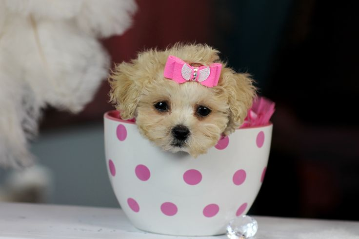 ♥♥♥ Teacup Poodle's! ♥♥♥ Bring This Perfect Baby Home Today! Call 954-353-7864 www.TeacupPuppies... ♥ ♥ ♥ TeacupPuppiesStore - Teacup Puppies Store Tea Cup