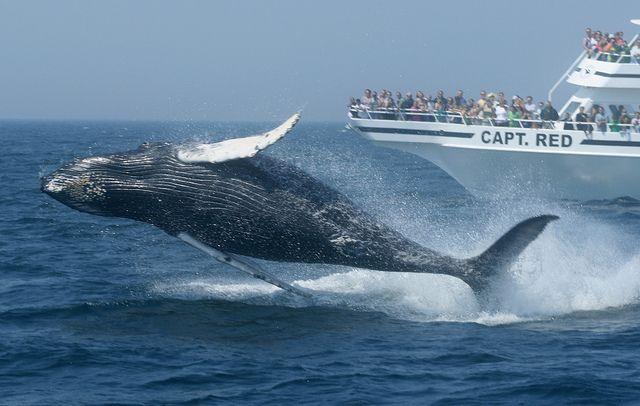 Whale watching from the Capt. Red #massachusetts #travel Credit: Kim Hojackni