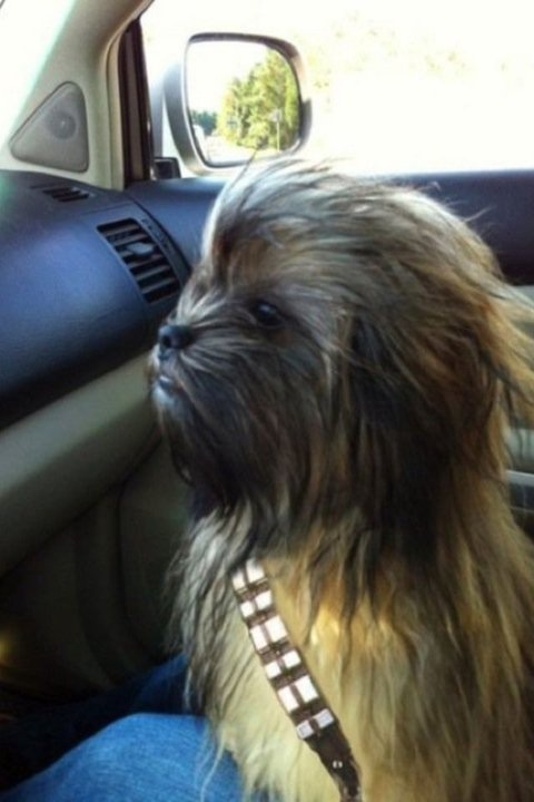Can you believe this is a dog NOT baby Chewbacca