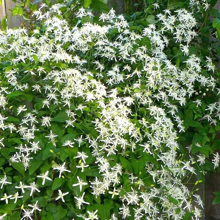 Low Growing Evergreen Shrubs Zone 8 Shrub For Shade Zone 7 Hedges Low Growing Evergreen Shrubs Zone 8 Shade Plants Lawn And Garden Sweet Autumn Clematis