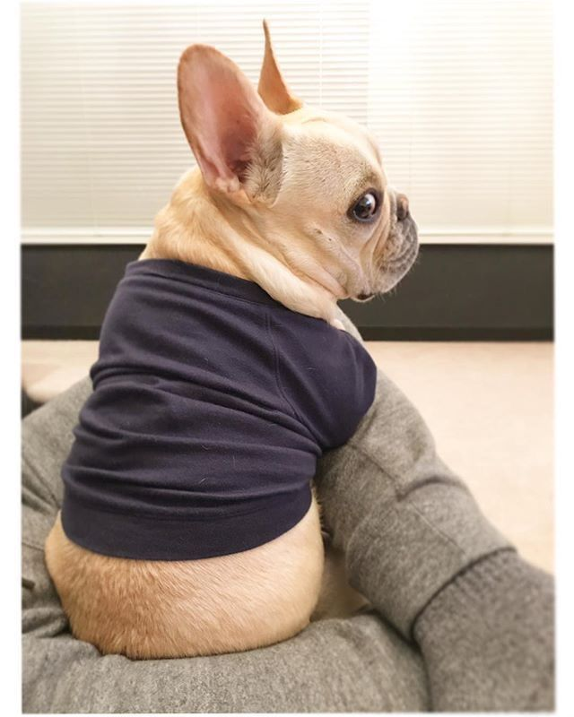 I Think This Jumper Is To Small Mum French Bulldog Puppies Bulldog French Bulldog Funny