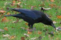 Carrion crow. Credit: Richard Burkmar