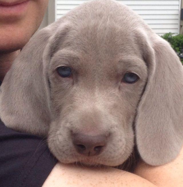 My Weimaraner puppy