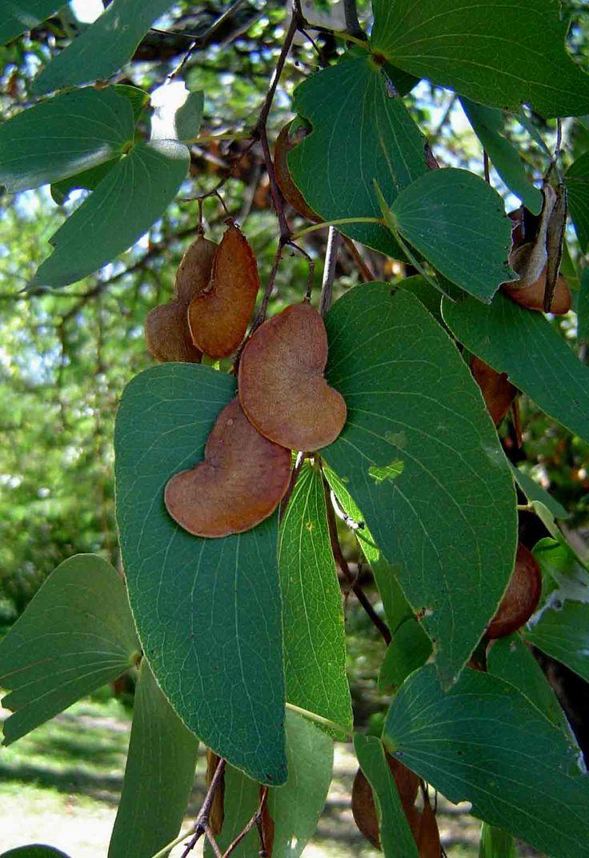 Colophospermum Mopane    seeds and butterfly leaves      Mopane/Turpentine Tree       Mopanie       S  A no 198