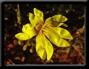 Kalgoorlie Wildflower