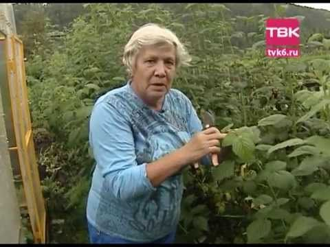 Советы тети Тани. Уход за малиной // Aunt Tanya shows us how to trim Raspberries for proper growth ---