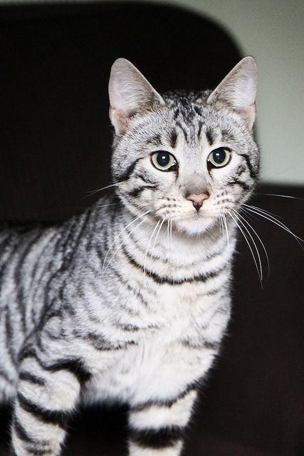 White Toyger Kitty Pinterest Finals Makeup And Photos