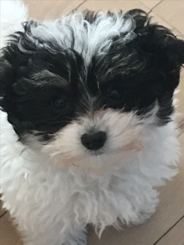78 Best Images About Maltipoo Dk On Pinterest