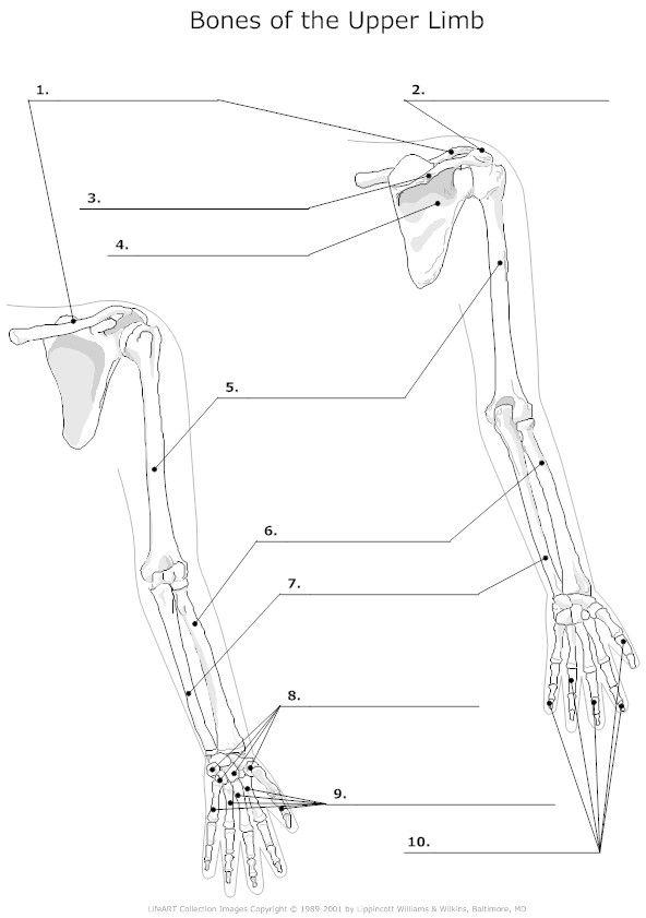 292 best Skeletal system images on Pinterest | Skeletal system ...