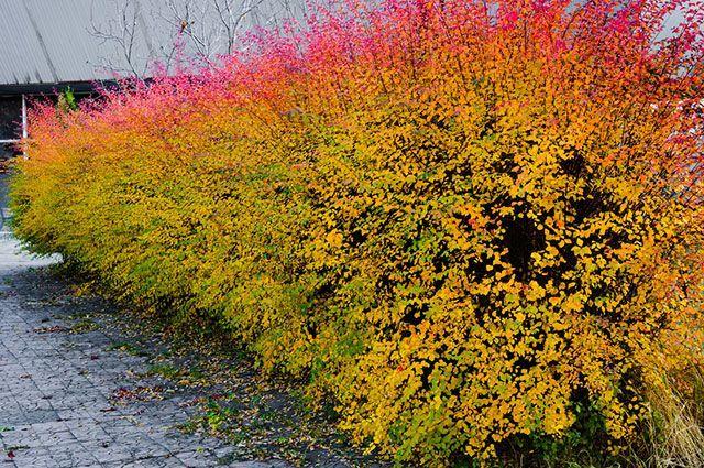 Чем удобрять и как избежать обмерзания декоративных кустарников осенью?