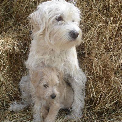 Dutch Smoushond #Dogs #Puppy