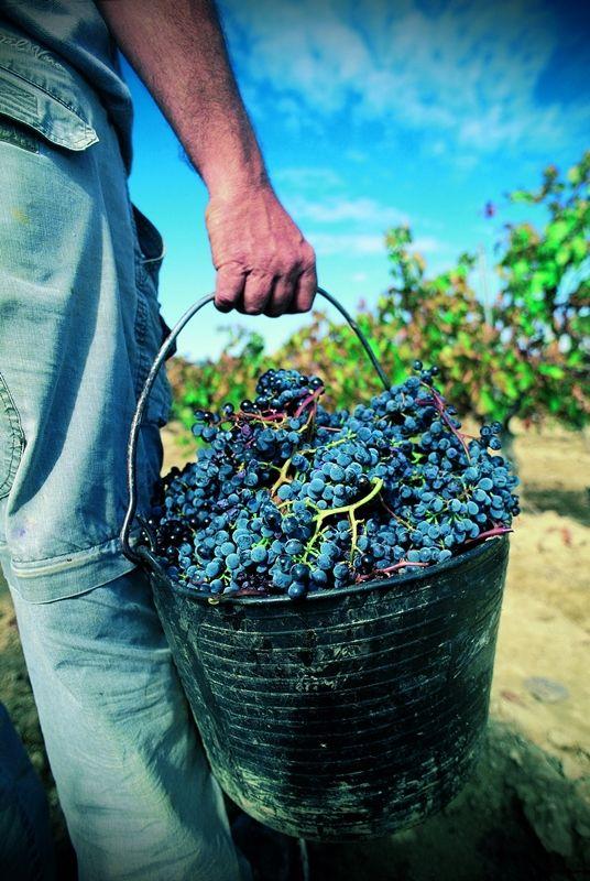 Viñas del Vero inicia la vendimia 2014 https://www.vinetur.com/2014082216501/vinas-del-vero-inicia-la-vendimia-2014.html