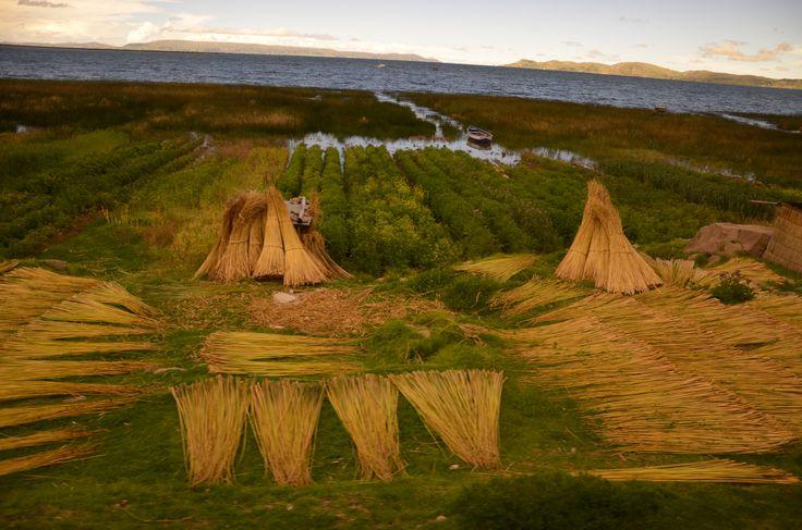 séchage des roseaux, bord du lac Titicaca, entre Copacabana (Bolivie) et Puno (Peru).