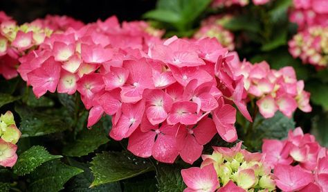 Coltivare ortensie in balcone: coltivazione dell'ortensia in vaso. Posizione, cure, quanta acqua somministrare, concimazione e accorgimenti per l'inverno.