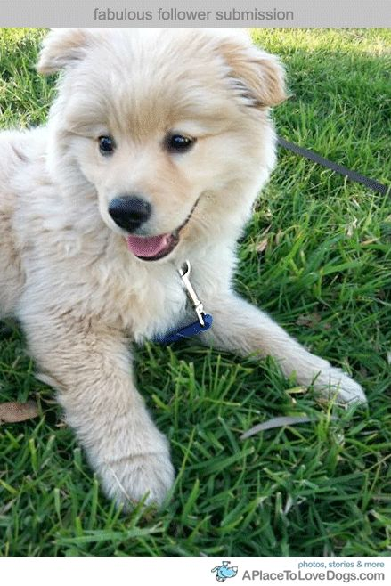 pomeranian lab mix akita pomeranian what a great mix things that make me 6164