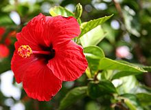 "Hibiscus ""Brilliant"" - Hibiscus rosa sinensis, known colloquially as Chinese hibiscus, China rose, Hawaiian hibiscus, and shoeblackplant,"
