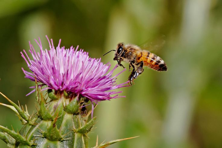 Milk thistle (Silybum marianum) has been used for 2,000 years as an herbal remedy for a variety of ailments, particularly liver, kidney, and gall bladder problems. Several scientific studies suggest that substances in milk thistle (especially a flavonoid called silymarin) protect the liver from toxins