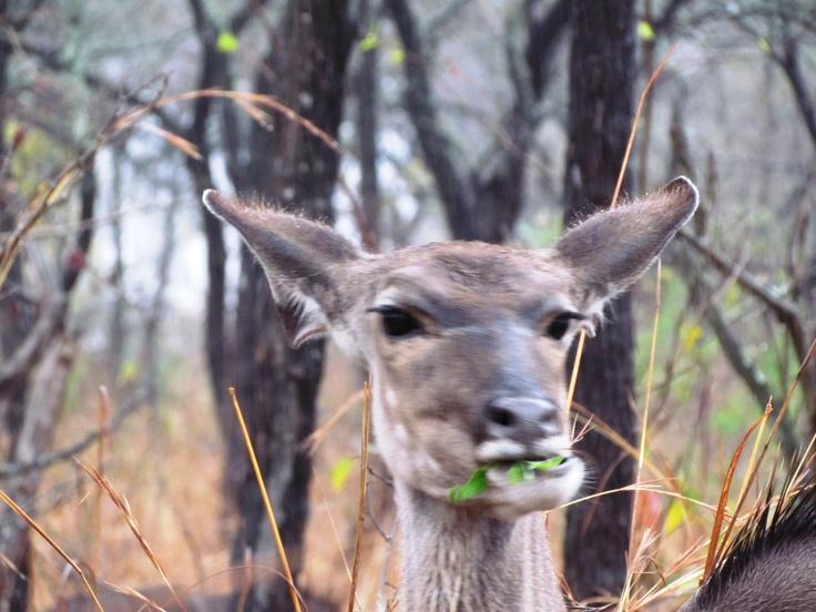 Kudu in Kruger Park in South Africa