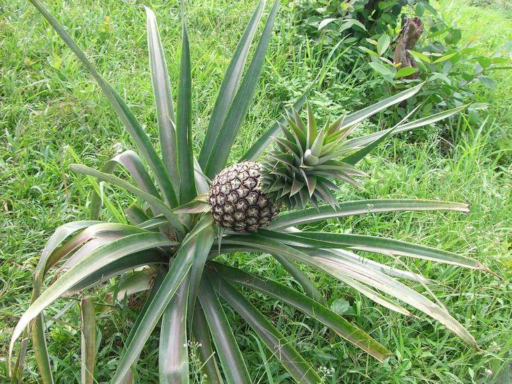10 fruits tropicaux mangés = 10 plantes tropicales à faire pousser ! ~ Sweet Random Science
