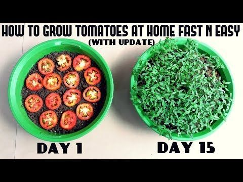 (175) Grow Tomatoes from Tomatoes (Easiest Method Ever With Updates) – YouTube