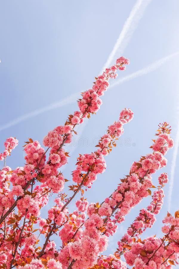 Beautiful Sakura Or Cherry Trees With Pink Flowers In Spring Sponsored Cherry Sakura Beautiful Tr Pink Flowering Trees Cherry Tree Flower Aesthetic