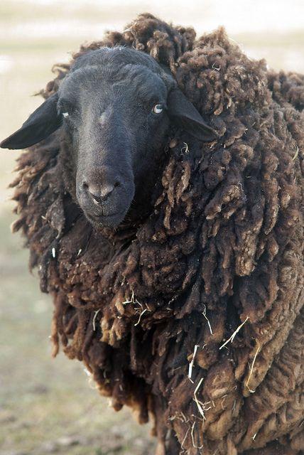 mouton / sheep   Flickr: Intercambio de fotos