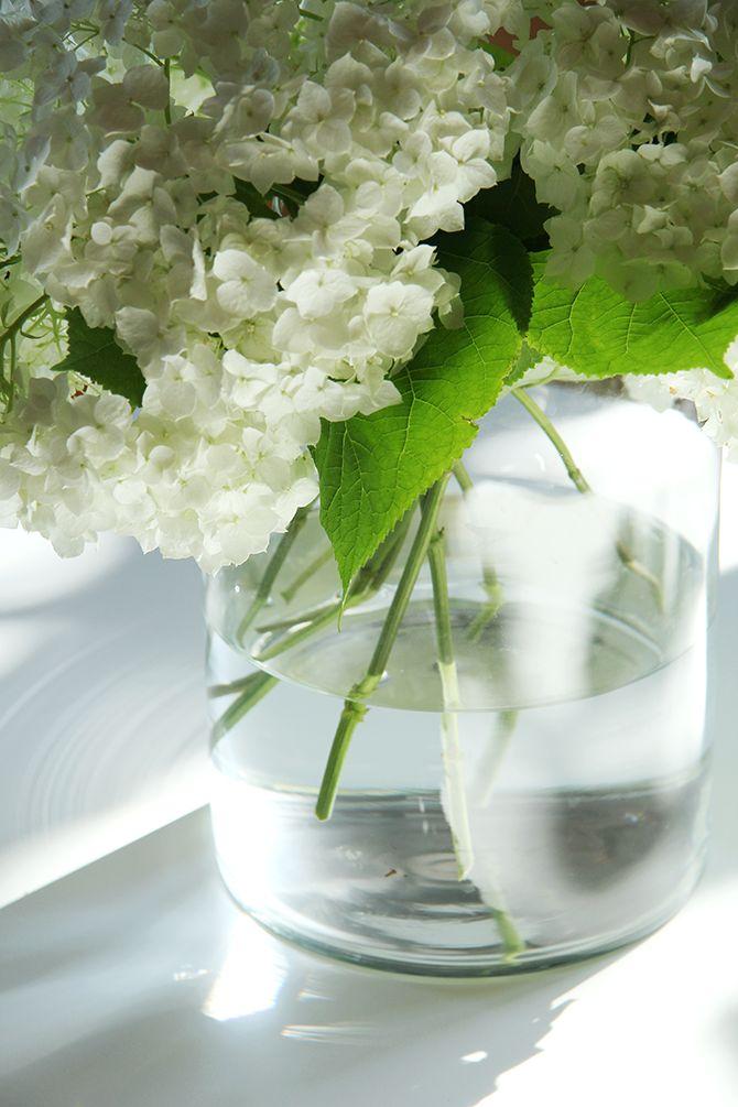 Puutarhan hortensiat / Garden hydrangea