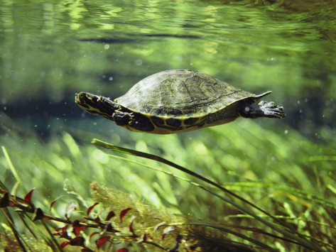 A Freshwater Turtle Swimming Underwater by Bill Curtsinger