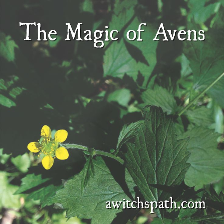 Avens - Geum urbanum - is a common herb in many parts of the world, used for purification and exorcism.