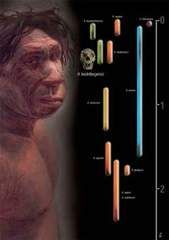 homo heidelbergensis Pictures