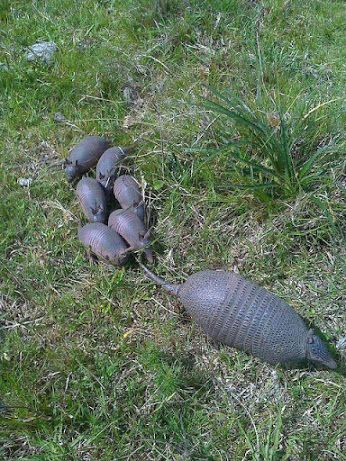 An Armadillo Mother ~ With Her Six 'Pups.'