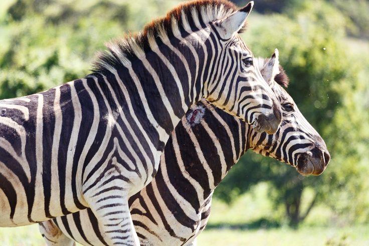 Zebras standing together Zebras standing together in the field.
