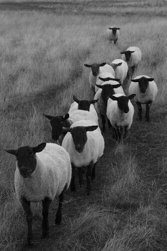 Als er één schaap......