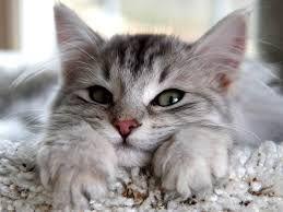 Norwegian Forest Cats - Szukaj w Google