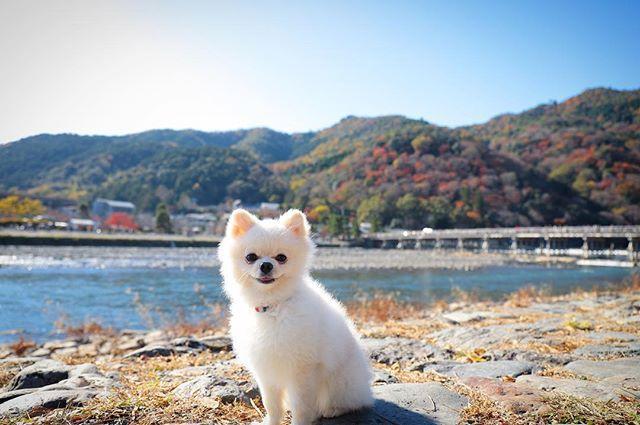 . ┈┈ 紅葉が見たくて、日帰りで京都へ🚅 . 嵐山の紅葉はまだ早かった?遅かった?元々こんな? ちょっと緑が多めな気がしました🌳 . 渡月橋と🐶 (2017.11.24 fri) ┈┈ #ポメラニアン#pomeranian#白ポメ#白ポメ部#ポメ#pomestagram#dog#dogstagram#instadog#いぬすたぐらむ#pet#愛犬#ふわふわ#ふわもこ部#もふもふ#親バカ#はるま#今日のはるま#はるたび🐶 #京都#kyoto#京都旅行#日帰り旅行 #嵐山#渡月橋#🍁#から紅の恋歌#倉木麻衣 笑 #canon6dmarkii#カメラ女子 .
