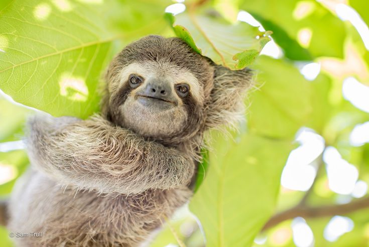 The Sloth Institute Adopt A Sloth in Costa Rica - The Sloth Institute Costa Rica
