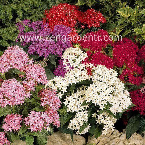 5 renk pentas tohumu karışımı graffiti mix yıldız kümesi çiçeği