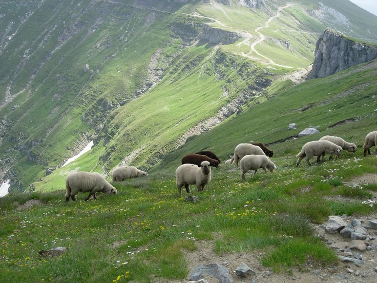 Sheep grazing in Prahova Valley - Romania