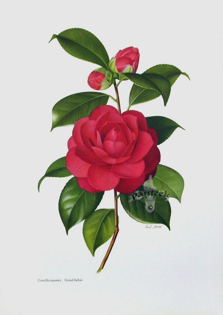 Camellia Flower Line Drawing : Best rose illustration ideas on pinterest forrest