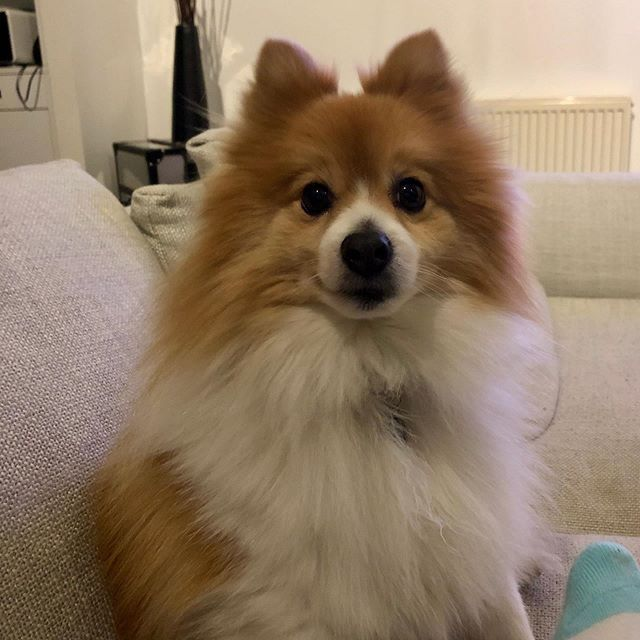 Happy Saturday Oscar Pomeranian Weekend Saturday Love Life Pom Dog Happy Saturday Oscar Pomeran Pom Dog Rescue Dogs Happy Saturday