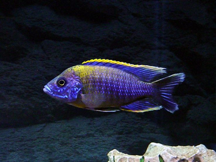 17 Best Images About Cichlid Love On Pinterest Peacocks