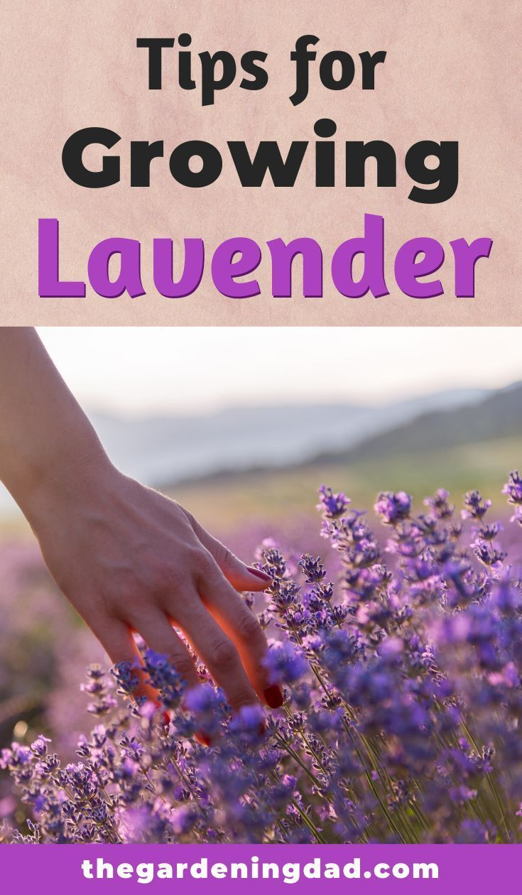How to grow lavender from seed 5 simple tips in 2020