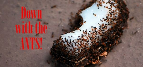 The Borax and Sugar Ant Killer is easy and safe.