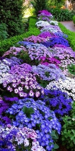 Beautiful garden , Cineraria Flowers