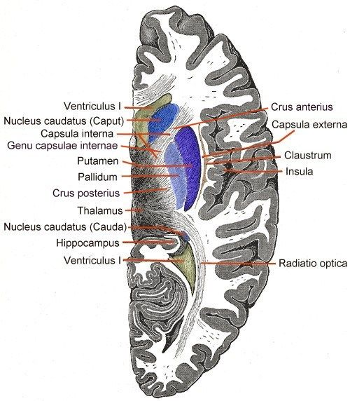 Horizontal section of right cerebral hemisphere.