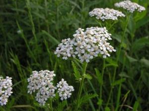 Missouri Wildflowers Yarrow Achillea Millefolium