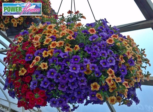 Flower power hanging baskets : Best images about hot hanging baskets on