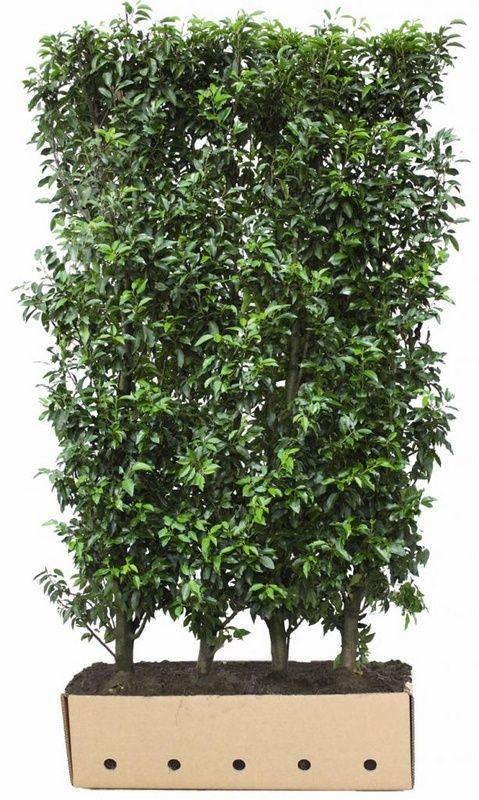 Kant en klaar haag Prunus lusitanica Angustifolia - L106 x B40 x H200 cm