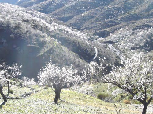 """almond blossom near Albondon   - """"It's like going to heaven,"""" my wife commented, on our first drive into the Alpujarras. We had left Roquetas on one of the few grey days. It was in February and there was a lot of low cloud. We had only travelled a few miles up into the mountains, but it was a different world. Above the clouds, there was a bright blue sky and beautiful white and pink blossom of the almond trees. photo by Robert Bovington blog: http://bobbovington.blogspot.com.es"""